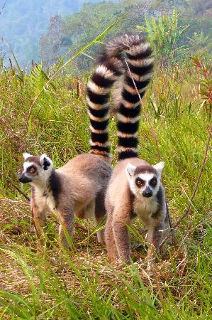 lemur the way she walks